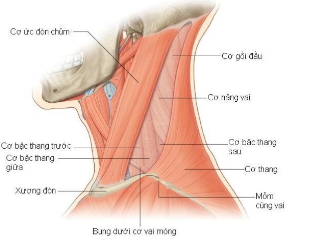 Cấu trúc giải phẫu một số cơ xương vùng cổ vai gáy - dau moi vai gay