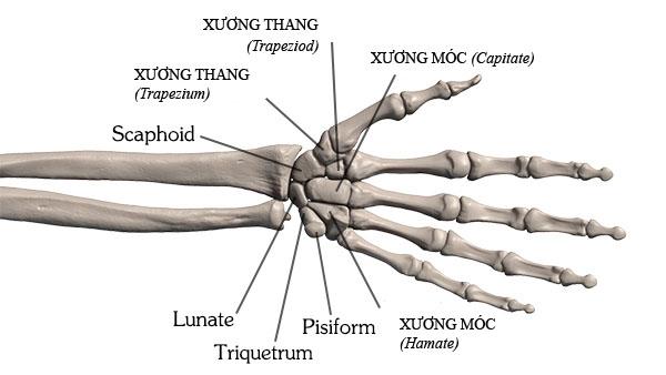 Cấu trúc cổ tay và các xương cổ tay - viem khop co tay