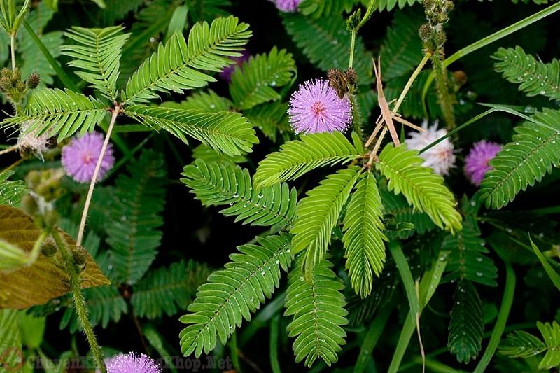 Dùng cây trinh nữ chữa trị bệnh xẹp đĩa đệm cột sống