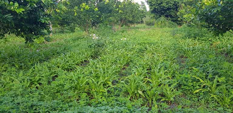 Thành phần trong bài thuốc được thu hái trực tiếp từ vườn dược liệu đạt chuẩn GACP - WHO